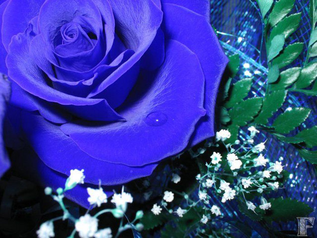 Trandafiri albastri - Poza 7