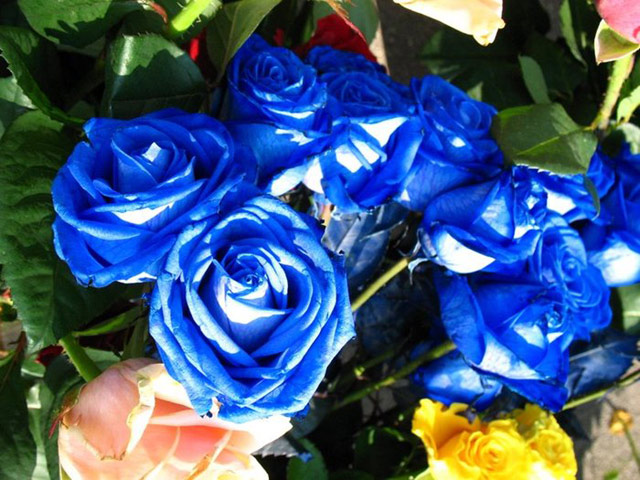 Trandafiri albastri - Poza 8
