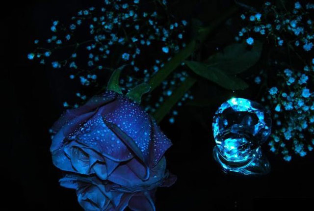 Trandafiri albastri - Poza 9