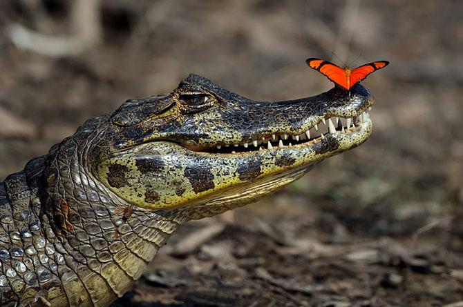 Un fluture rosu pe nasul unui crocodil - Poza 1