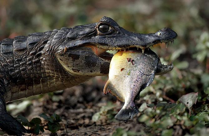 Un fluture rosu pe nasul unui crocodil - Poza 9