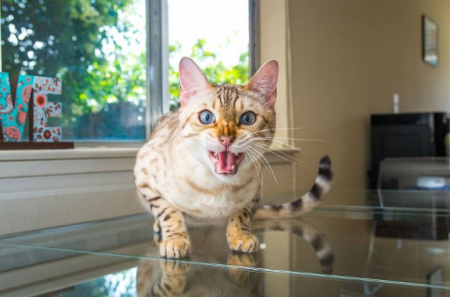 Expresiile pisicilor, in poze sugestive - Poza 14