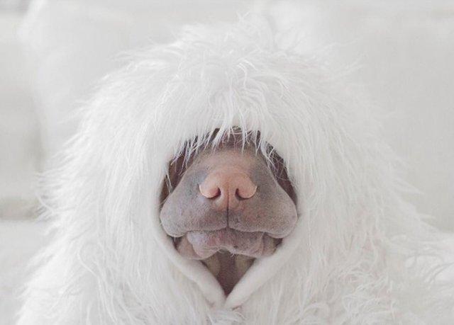 Cel mai fotogenic Shar Pei din lume, intr-un pictorial superb - Poza 13