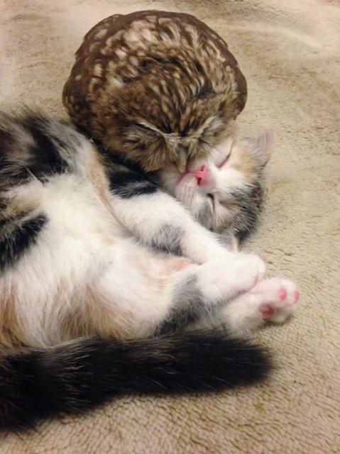 Prietenie neobisnuita: un pui de pisica si unul de bufnita devin de ne - Poza 2