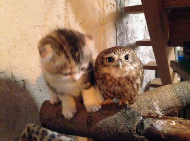 Prietenie neobisnuita: un pui de pisica si unul de bufnita devin de ne - Poza 3
