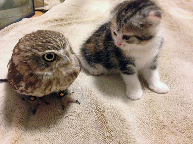 Prietenie neobisnuita: un pui de pisica si unul de bufnita devin de ne - Poza 4