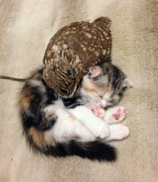 Prietenie neobisnuita: un pui de pisica si unul de bufnita devin de ne - Poza 6
