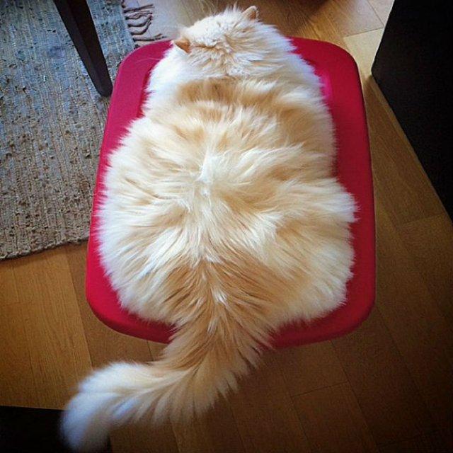 Cea mai pufoasa pisica din lume - Poza 11