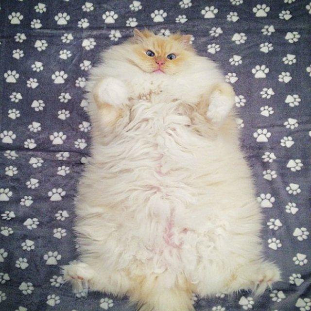 Cea mai pufoasa pisica din lume - Poza 13