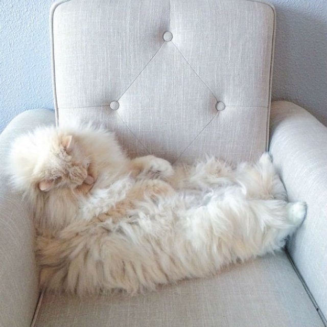 Cea mai pufoasa pisica din lume - Poza 14