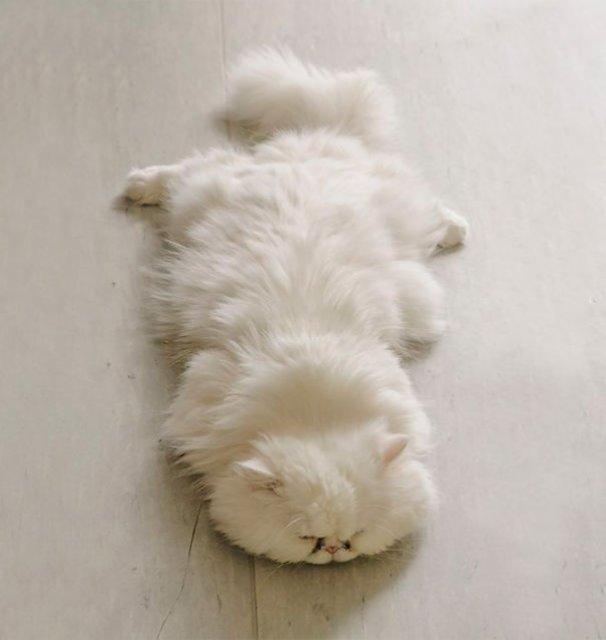 Cele mai pufoase pisici din lume - Poza 12