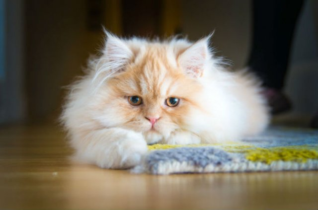 Expresiile pisicilor, in poze sugestive - Poza 11