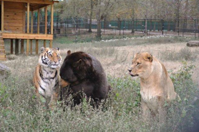 Un leu, un urs, un tigru si cea mai frumoasa prietenie - Poza 10