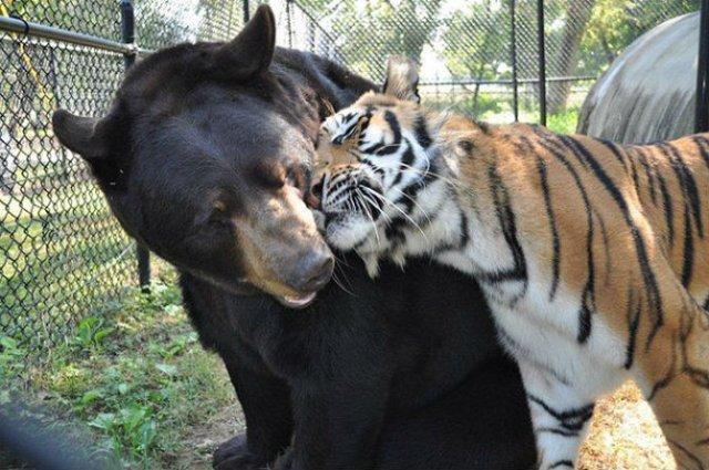 Un leu, un urs, un tigru si cea mai frumoasa prietenie - Poza 4