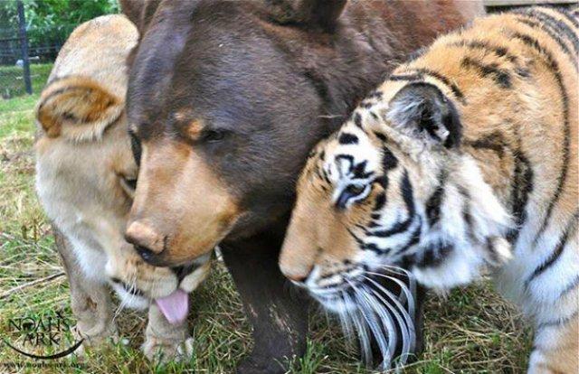 Un leu, un urs, un tigru si cea mai frumoasa prietenie - Poza 5