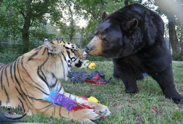 Un leu, un urs, un tigru si cea mai frumoasa prietenie - Poza 6