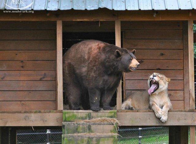 Un leu, un urs, un tigru si cea mai frumoasa prietenie - Poza 7