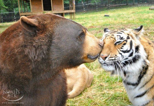 Un leu, un urs, un tigru si cea mai frumoasa prietenie - Poza 8