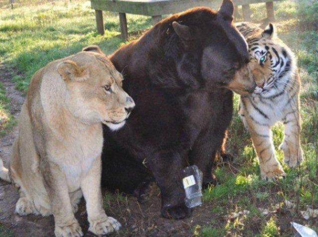 Un leu, un urs, un tigru si cea mai frumoasa prietenie - Poza 9