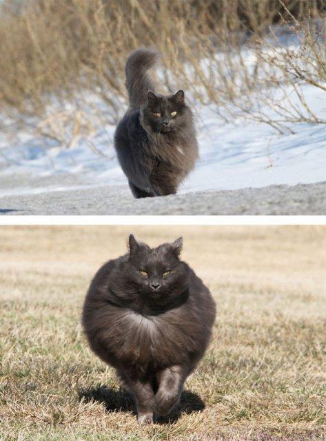 Cele mai pufoase pisici din lume - Poza 10