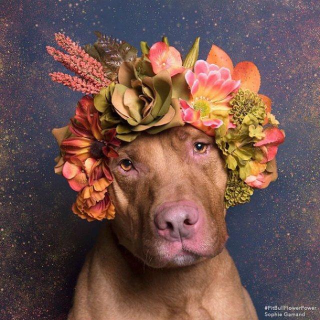 Pit Bull Flower Power: Ipostazele gingase ale cainilor de temut - Poza 14