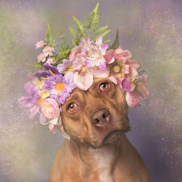 Pit Bull Flower Power: Ipostazele gingase ale cainilor de temut - Poza 16