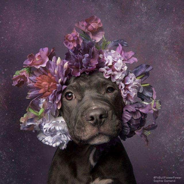 Pit Bull Flower Power: Ipostazele gingase ale cainilor de temut - Poza 18