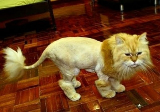 10 pisici tunse in cele mai trasnite feluri - Poza 3