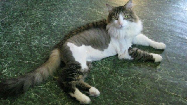 10 pisici tunse in cele mai trasnite feluri - Poza 5