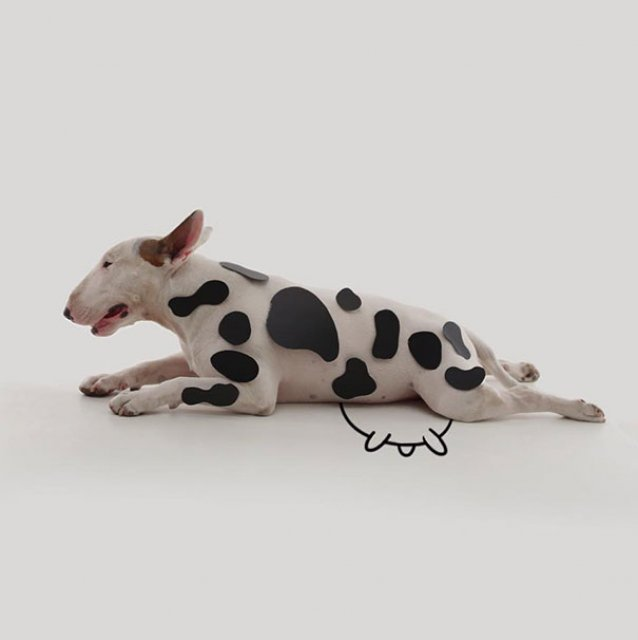 Bull Terrierul Jimmy Choo, intr-un pictorial trasnit - Poza 2