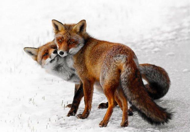 Dragostea pluteste in aer: Tandrete in lumea animala - Poza 14