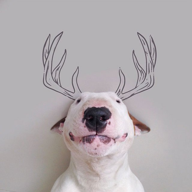 Bull Terrierul Jimmy Choo, intr-un pictorial trasnit - Poza 4