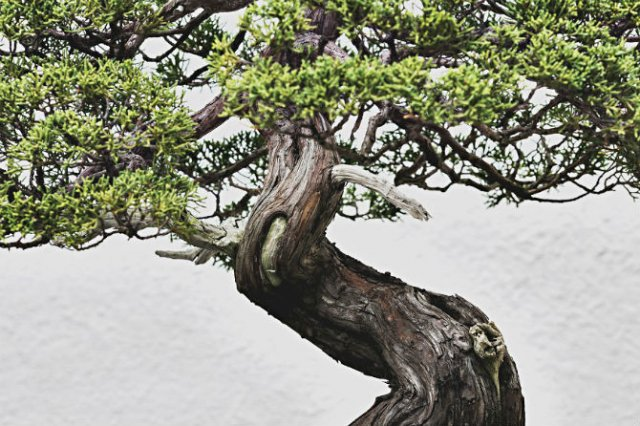 Unicitatea bonsailor, intr-un pictorial superb - Poza 6