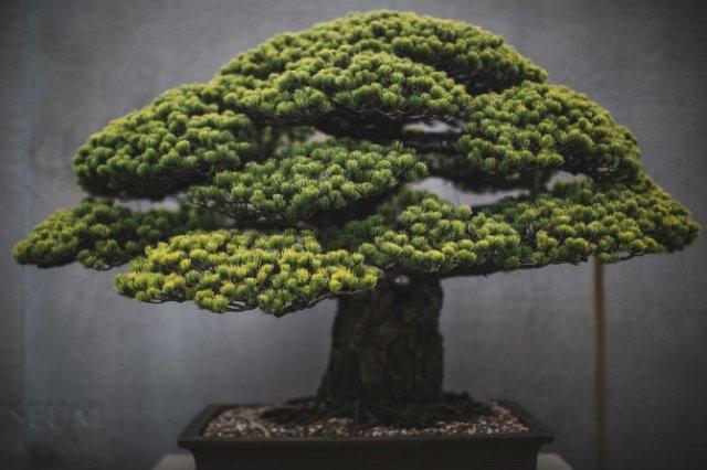 Unicitatea bonsailor, intr-un pictorial superb - Poza 1