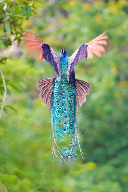 Eleganta paunilor, in poze superbe - Poza 14