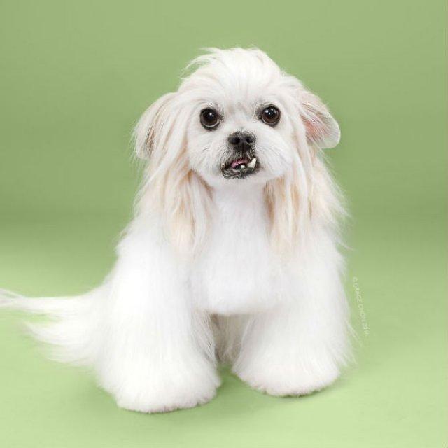 Unul mai cochet ca altul: Tunsori canine cu influente asiatice - Poza 10
