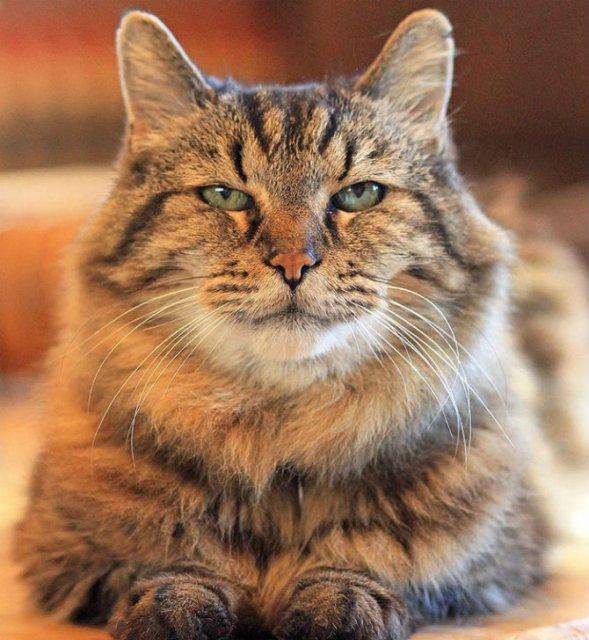 Corduroy, cea mai in varsta pisica din lume