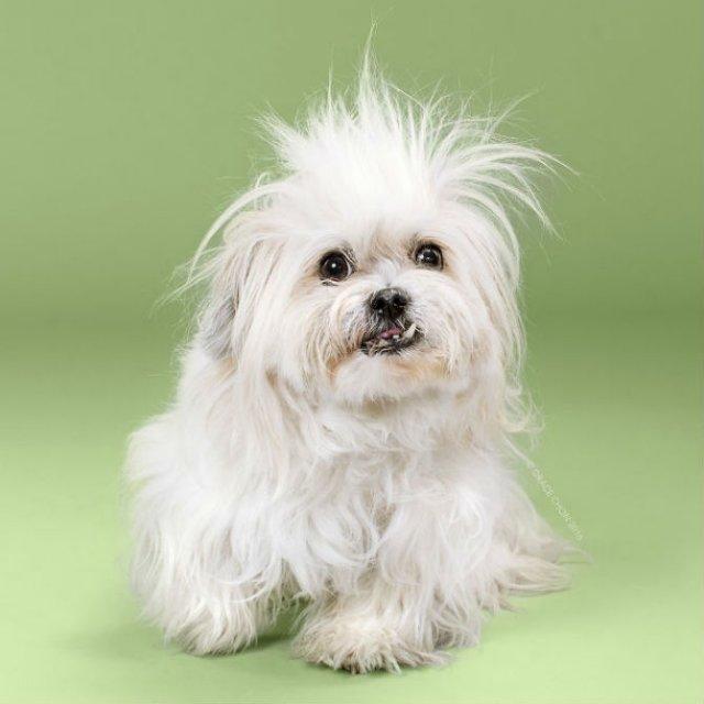 Unul mai cochet ca altul: Tunsori canine cu influente asiatice - Poza 9