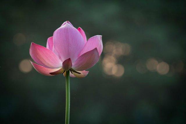 Frumusetea florilor de lotus, de Kunito Imai