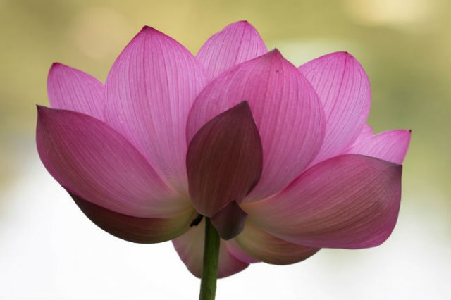 Frumusetea florilor de lotus, de Kunito Imai - Poza 4