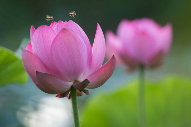 Frumusetea florilor de lotus, de Kunito Imai - Poza 1