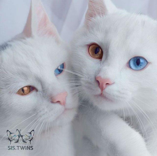 Cele mai frumoase pisici gemene din lume