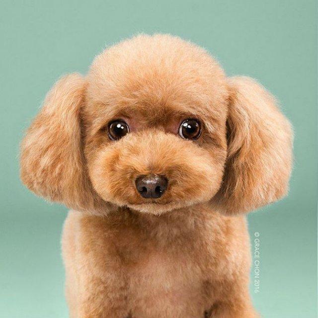 Unul mai cochet ca altul: Tunsori canine cu influente asiatice - Poza 2