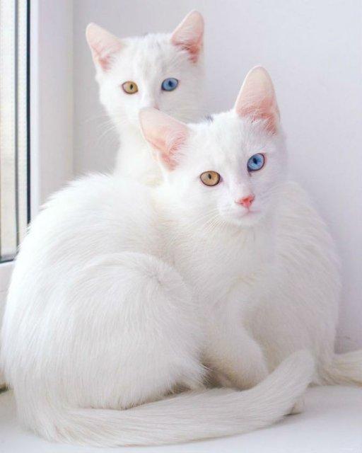 Cele mai frumoase pisici gemene - Poza 3