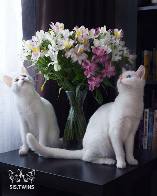 Cele mai frumoase pisici gemene - Poza 6