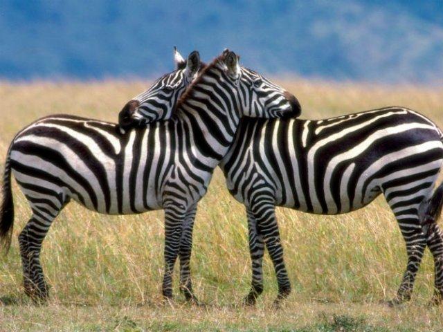 Dragostea pluteste in aer: Tandrete in lumea animala - Poza 2