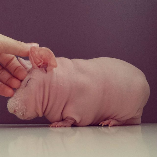 Porcusor de Guineea golas, in poze adorablie - Poza 1