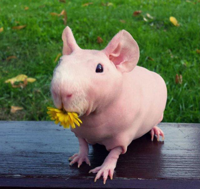 Porcusor de Guineea golas, in poze adorablie - Poza 11