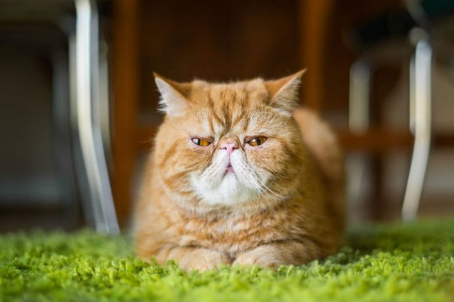 Expresiile pisicilor, in poze sugestive - Poza 9