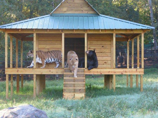 Un leu, un urs, un tigru si cea mai frumoasa prietenie - Poza 2